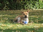BOUB'S Staffie de Saine Colombe