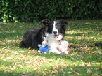 GEISHA Border Collie de LAVERNOSE (31)
