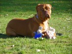 GINA Dogue de Bordeaux en plein dressage