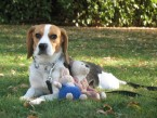 GWENDY Beagle de Larroque